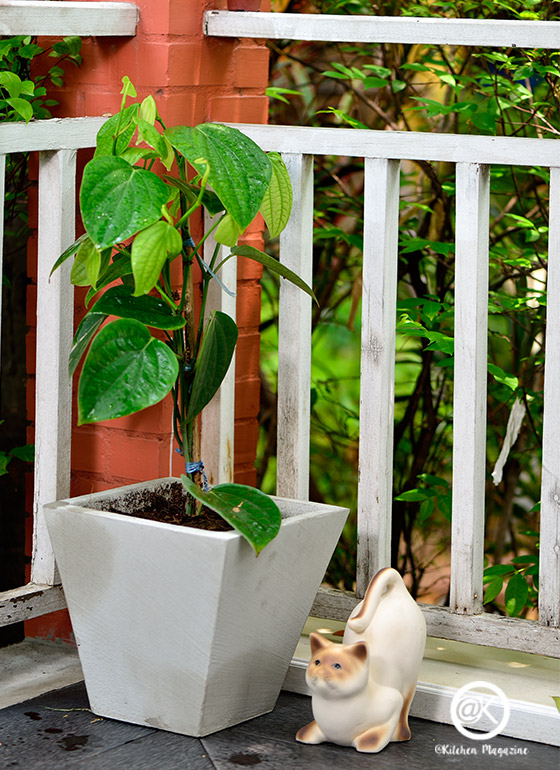 ปลูกต้นพริกไทย